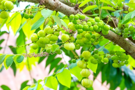stomach acid: . fruit, . sour, abdominal drainage, agriculture, asian, bemiring, branch, cough, culture, detail, dextrose, draining the stomach, food, fresh, freshness, fruit, gallic acid, green, group, herbal