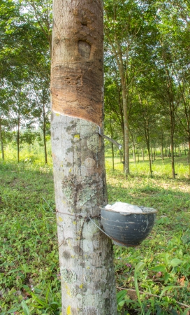 Milky latex extracted from rubber tree,Loei,Thailand