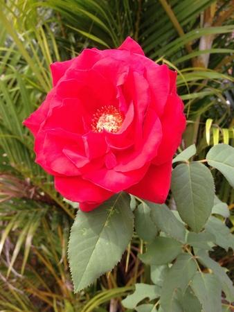 Rose  Imagens