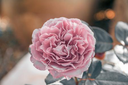 beautifu pink carnation