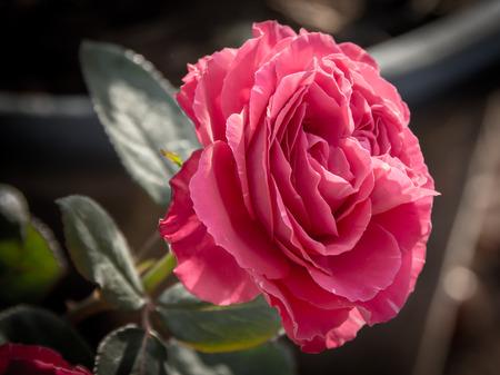 beautifu pink rose Imagens