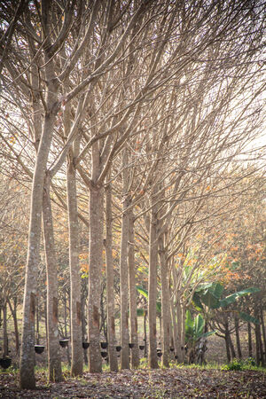 landscape rubber tree