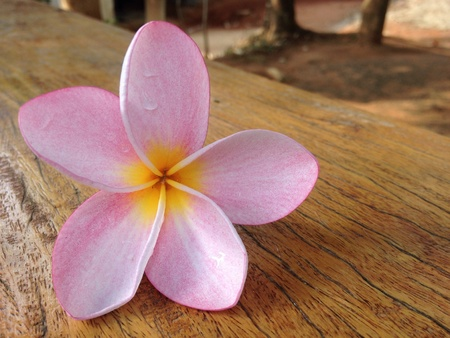 Frangipani flower Imagens