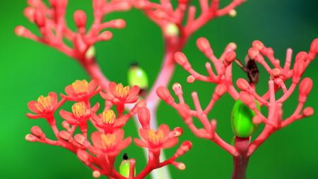papaya flower: Flower Papaya Tree Stock Photo