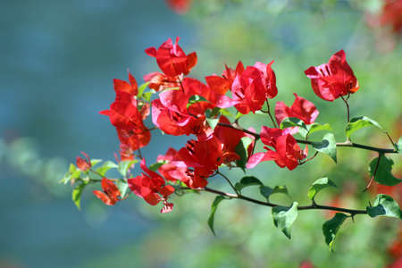 Bougainvillea Red flower photo