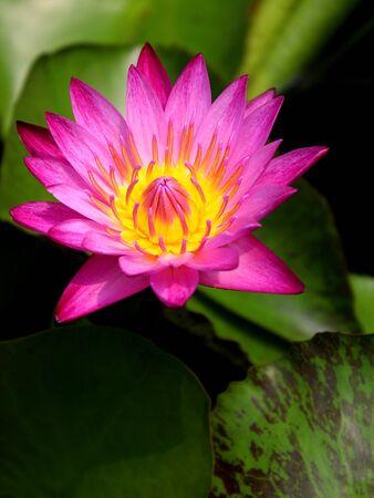 corbel: pink lotus (king of siam)
