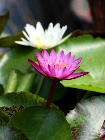 corbel: pink and white lotus (king of siam)