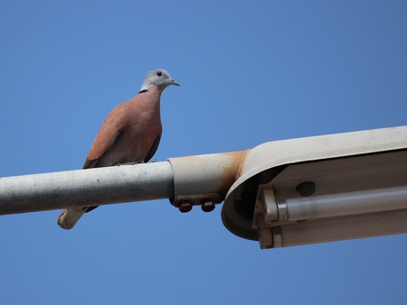 perching: Spotted Dove Perching Street Light