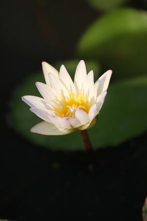 thialand: White lotus In Summer Thialand Stock Photo
