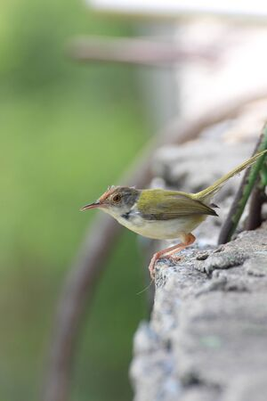 ruffling: Small bird on top a wall (Phylloscopidae bird)