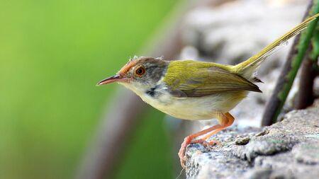 Small bird on top a wall (Phylloscopidae bird)