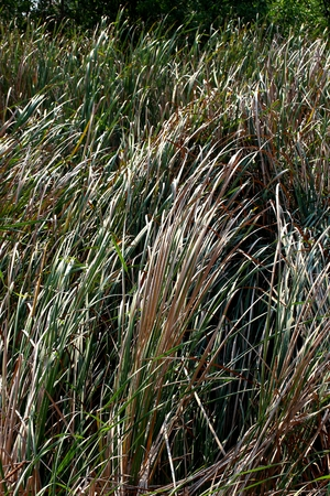 canne: Cattails Ance Typha piante Archivio Fotografico
