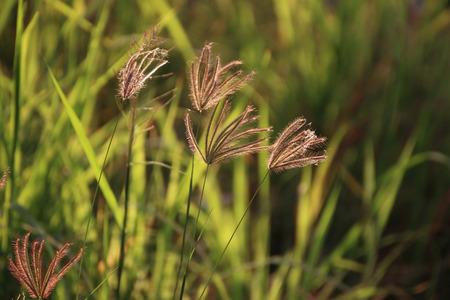 golde: Summer grass flowers in bright gold shimmering twilight sunshine