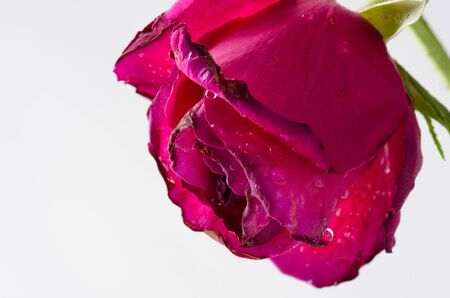 Close up dried rose Stock Photo