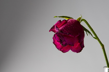 sear and yellow leaf: Sad pink rose almost die Stock Photo
