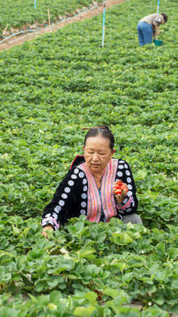 Khao Kho district, Phetchabun Province, Thailand - FEB 13 : Hill tribe woman is picking strawberry at field on February 13, 2015 on a strawberry garden at Khao Kho, Phetchabun, Thailand.