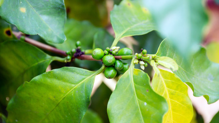unripe: Unripe coffee beans on the branch Stock Photo