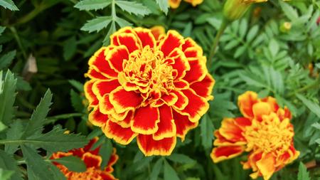 asian wedding: marigolds flowers in the garden