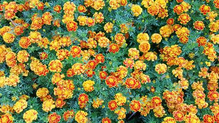 indische muster: Ringelblumen im Garten Lizenzfreie Bilder