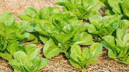non  toxic: Cos lettuce in the vegetable garden.