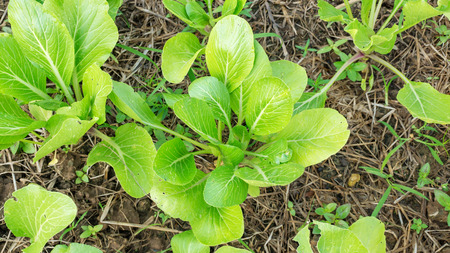 cantonese: Cantonese plant in the vegetable garden.