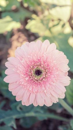 barberton daisy: Pink gerbera in the garden, vintage style.