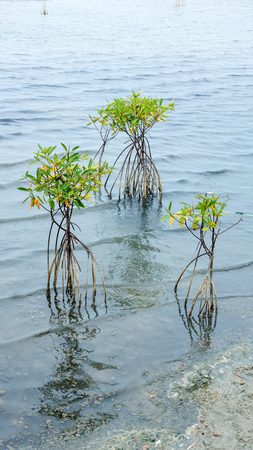 mangroves: Mangroves in blue water at low tide.