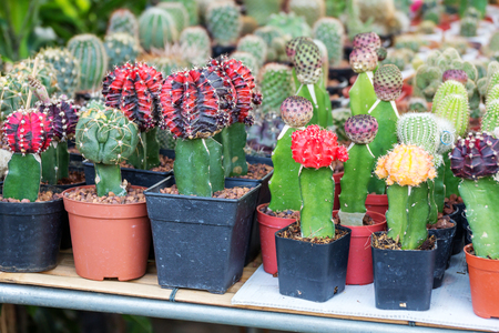 Cactus collection in small flower pots.