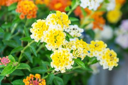 lamiales: West Indian lantana flower in the garden.