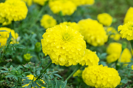 Yellow Marigolds Flower In The Garden. Stock Photo, Picture And ...