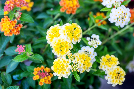 west indian: West Indian lantana flower in the garden.