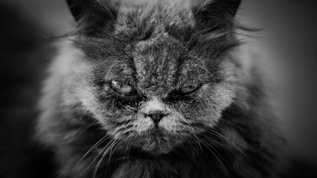 close up of the face of a Persian cat, black and white color.
