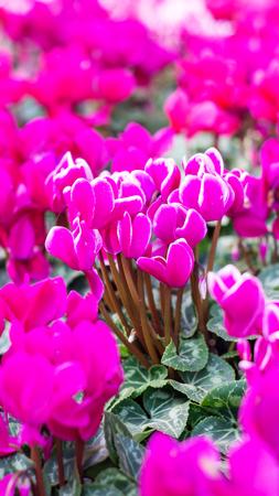 sowbread: Pink cyclamen flowers in the garden.