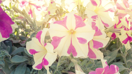 white and pink petunia flower, vintage color.