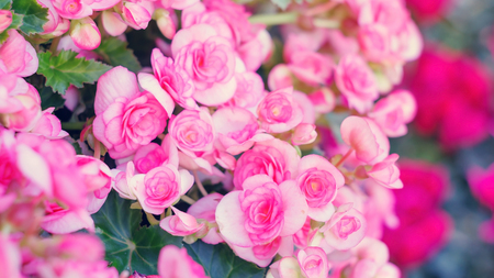 tuberous: beautiful pink begonias in the garden. Stock Photo