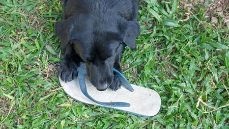black dog biting a white slipper.