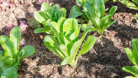 cos: Cos lettuce in the vegetable garden.