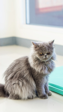 gray persian cat sitting in the room.