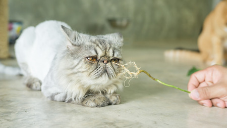 Gray striped Persian cat and a root of Indian acalypha. Stock Photo