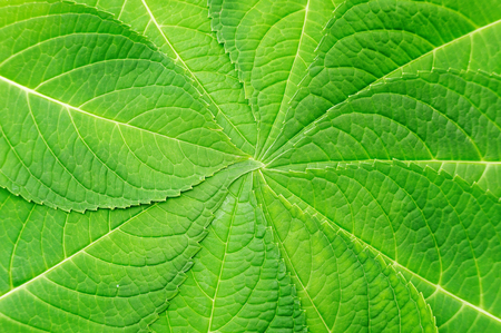 hydrangea leaf for a background.