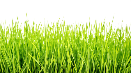 wheatgrass plant on a white background. Stock Photo