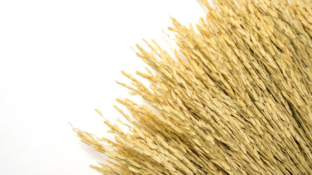 Dry ear of rice on a white background.
