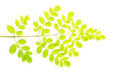 Moringa leaves (Thai herbs) on a white background.