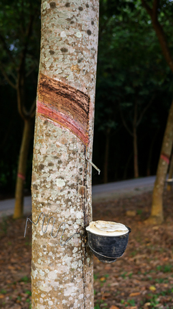Close up of tapping from rubber tree plantation.