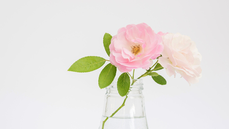 Rose flower in a vase on a white background.
