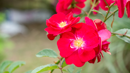 Red rosa gallica officinalis in a garden. Banque d'images