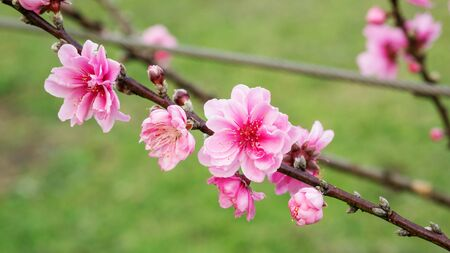 Pink peach blossom in the garden.