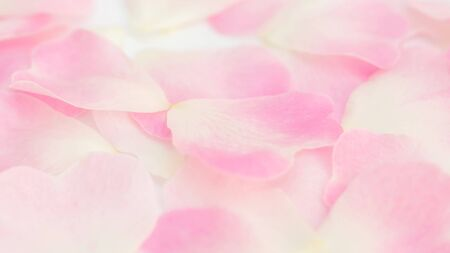Close up of white and pink rose flower for a background, soft focus.