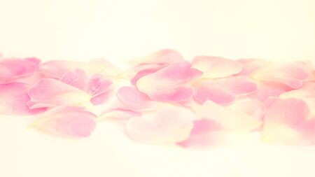 Close up of white and pink rose flower. vintage style and soft focus.