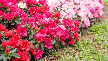 Red and pink Azalea flower in a garden.